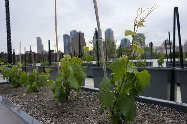 纽约屋顶酒庄计划发布第一款年份酒